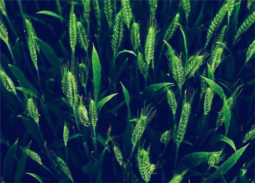 全国各地春小麦什么时候播种最好?和冬小麦主要有这5大区别!